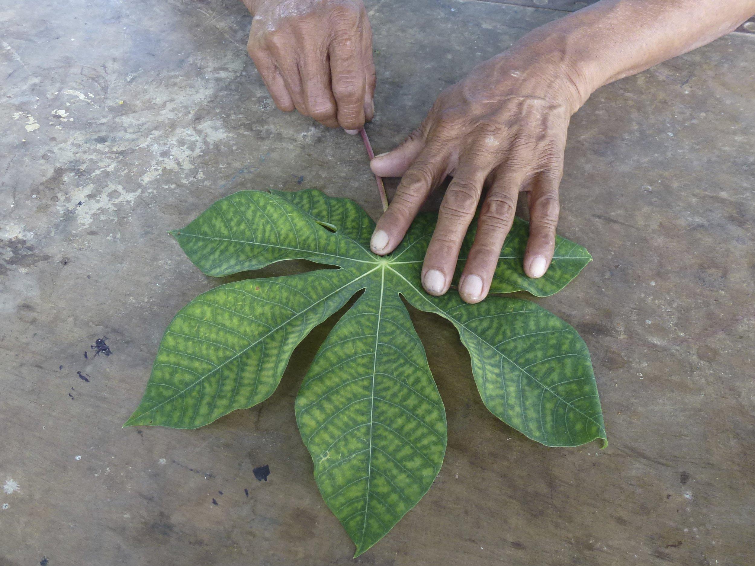 Cassava leaf ( Manihot esculenta  Crantz)   Lewis Daly / Guyana / 2012