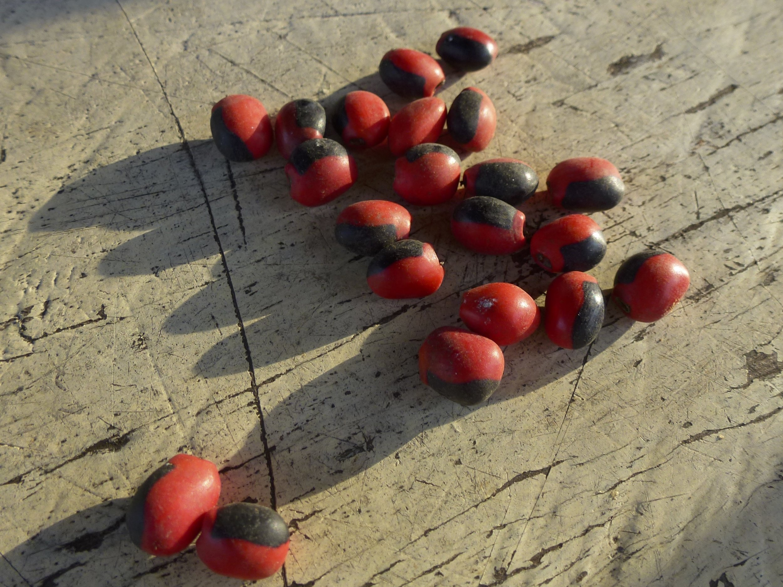 Huayruro beads ( Ormosia coccinea ), used to make jewellery by indigenous groups across Amazonia | Lewis Daly / Guyana / 2012