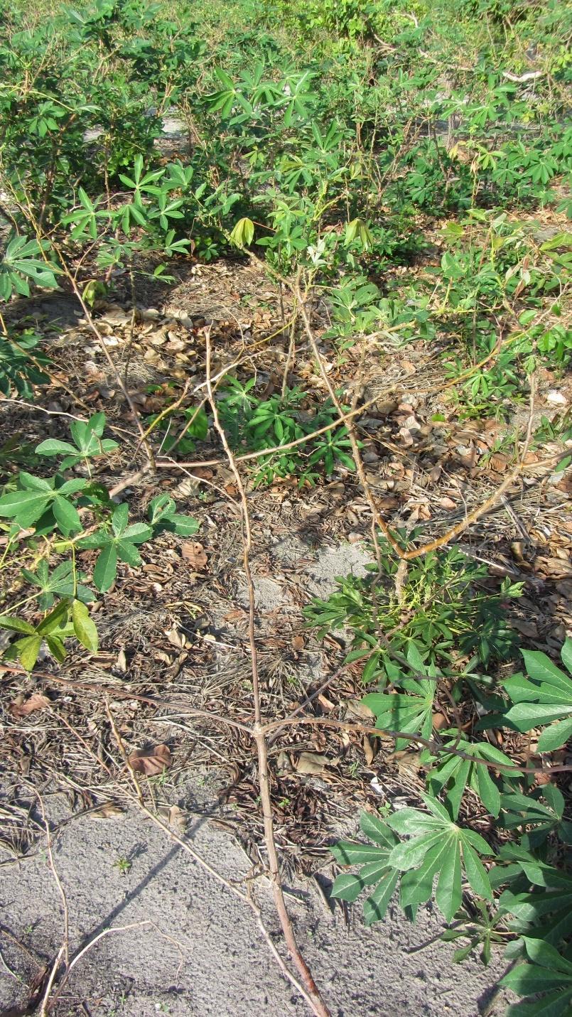 Gender non-binary manioc  waíputre  plant