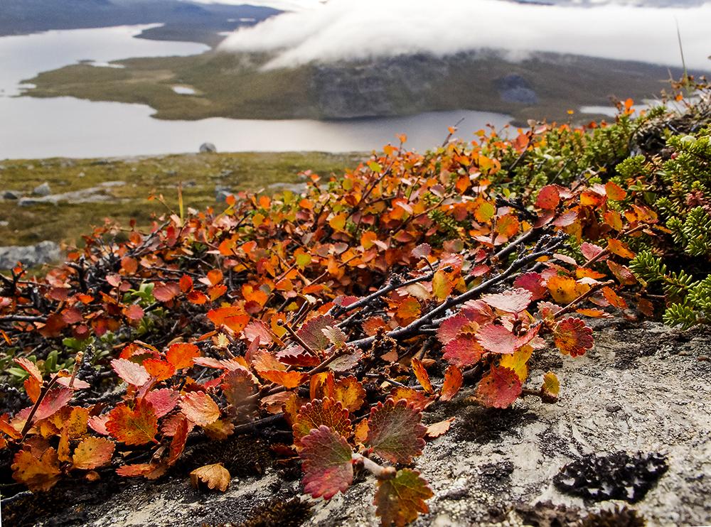 Betula nana  in autumn above Kilpisjarvi Lake in Finland | Kristiina Johanssen