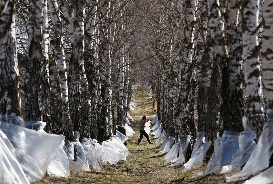 Workers gather birch sap near Minsk, Belarus | Tatyana Zenkovich / Rex Shutterstock