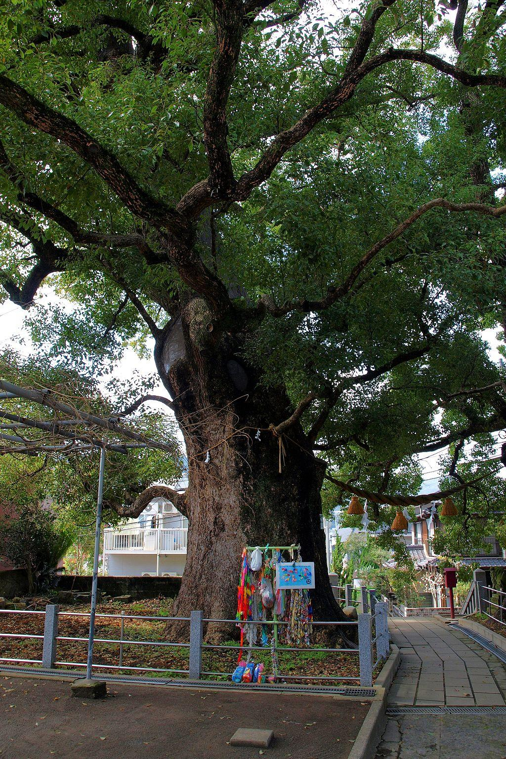 Camphor tree, one of the  Hibakujumoku  in   Nagasaki - 2009 |  ぱちょぴ (pacyopi) / Wikimedia