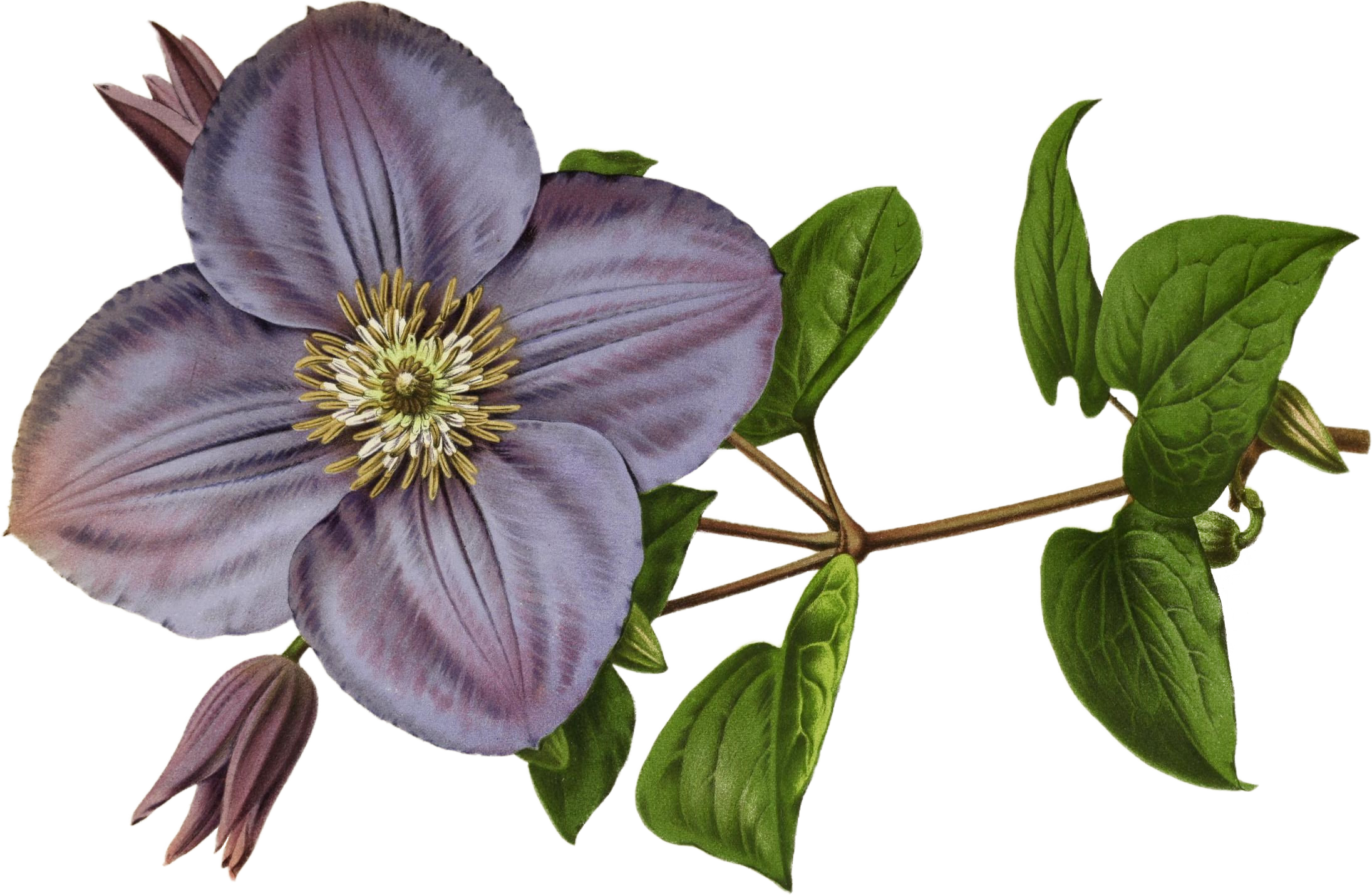 Clematis |  Biodiversity Heritage Lab