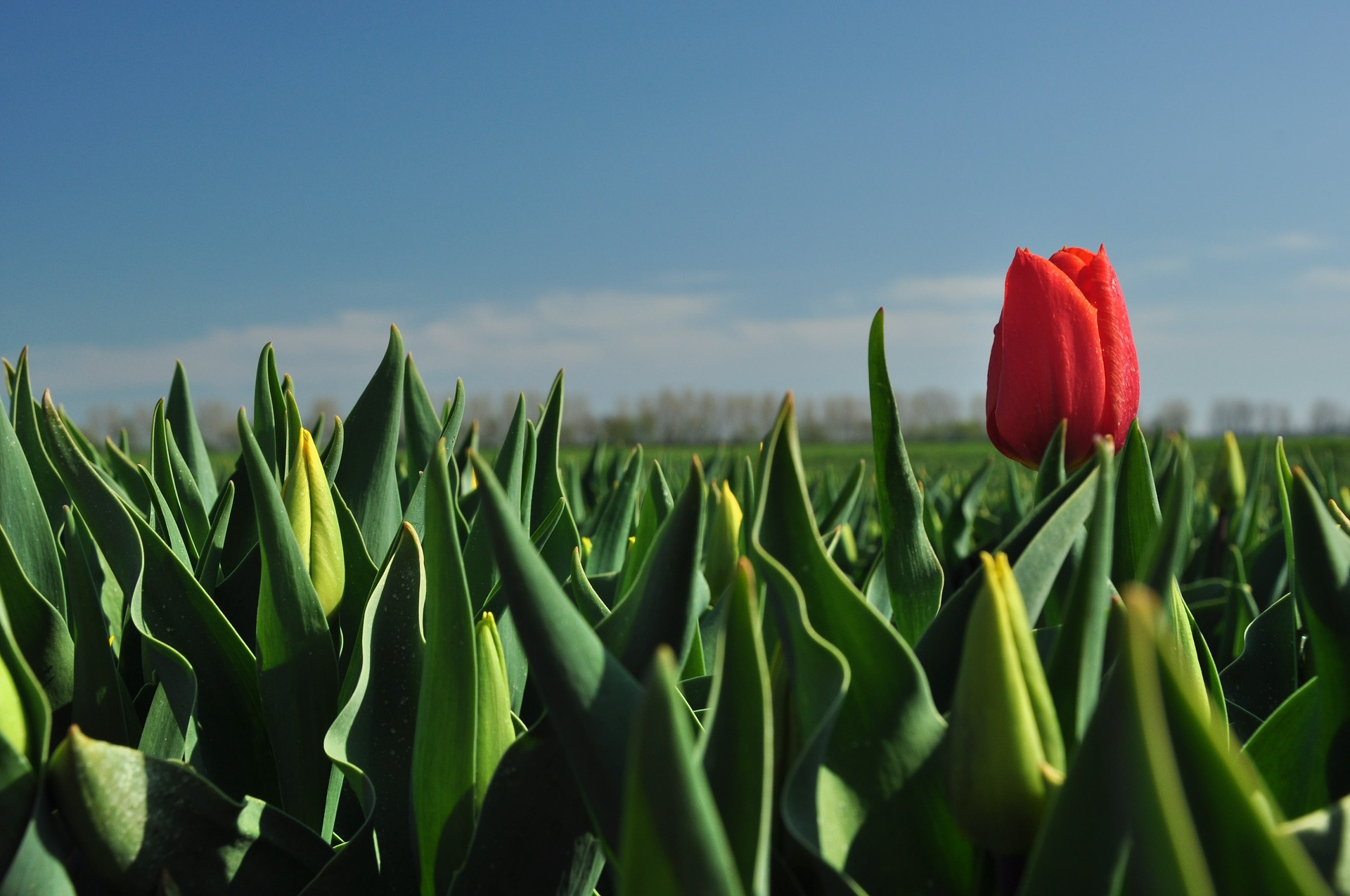 tulip-2355000_1920.jpg