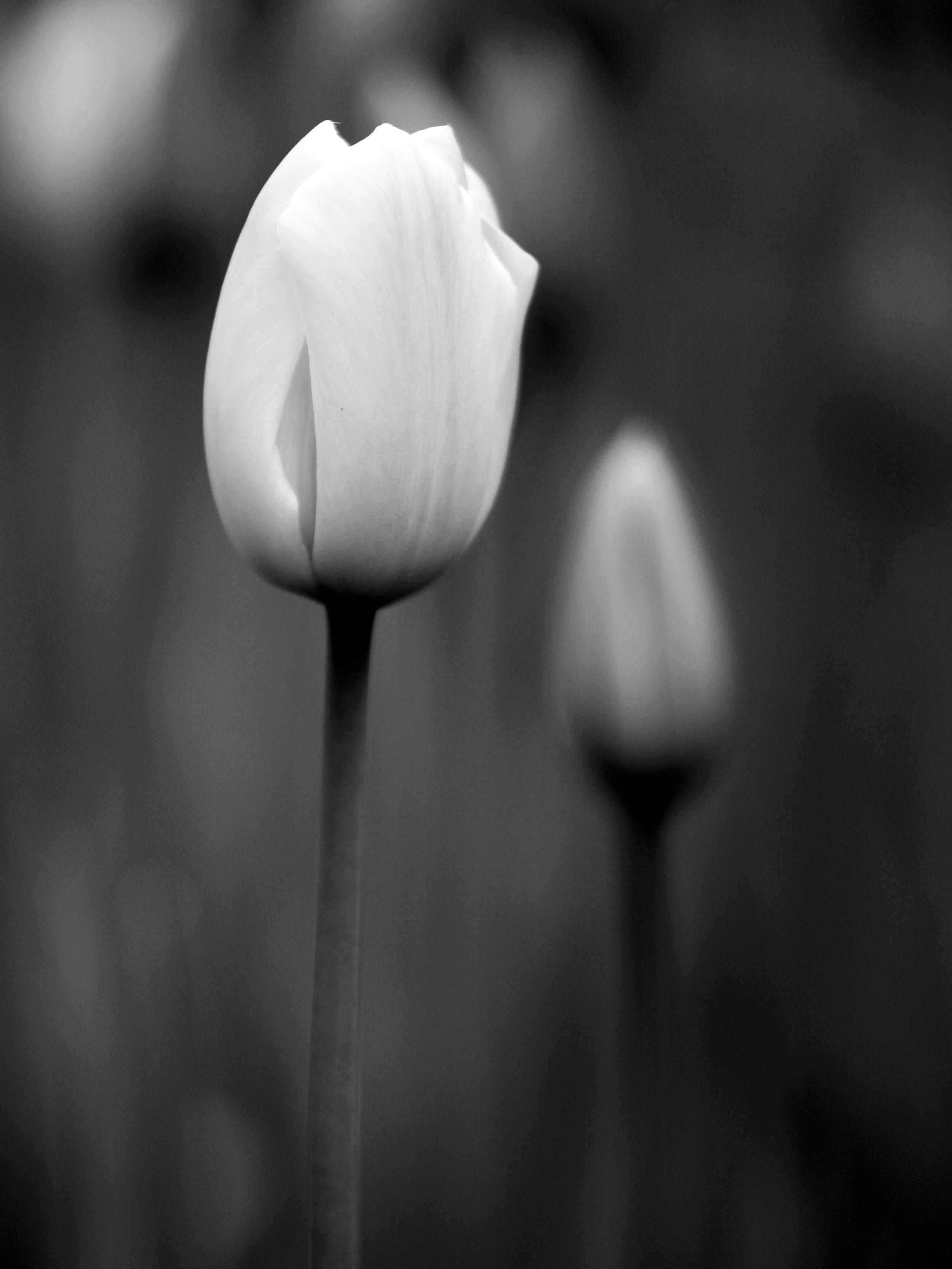 tulips-P9Q7JLF.jpg