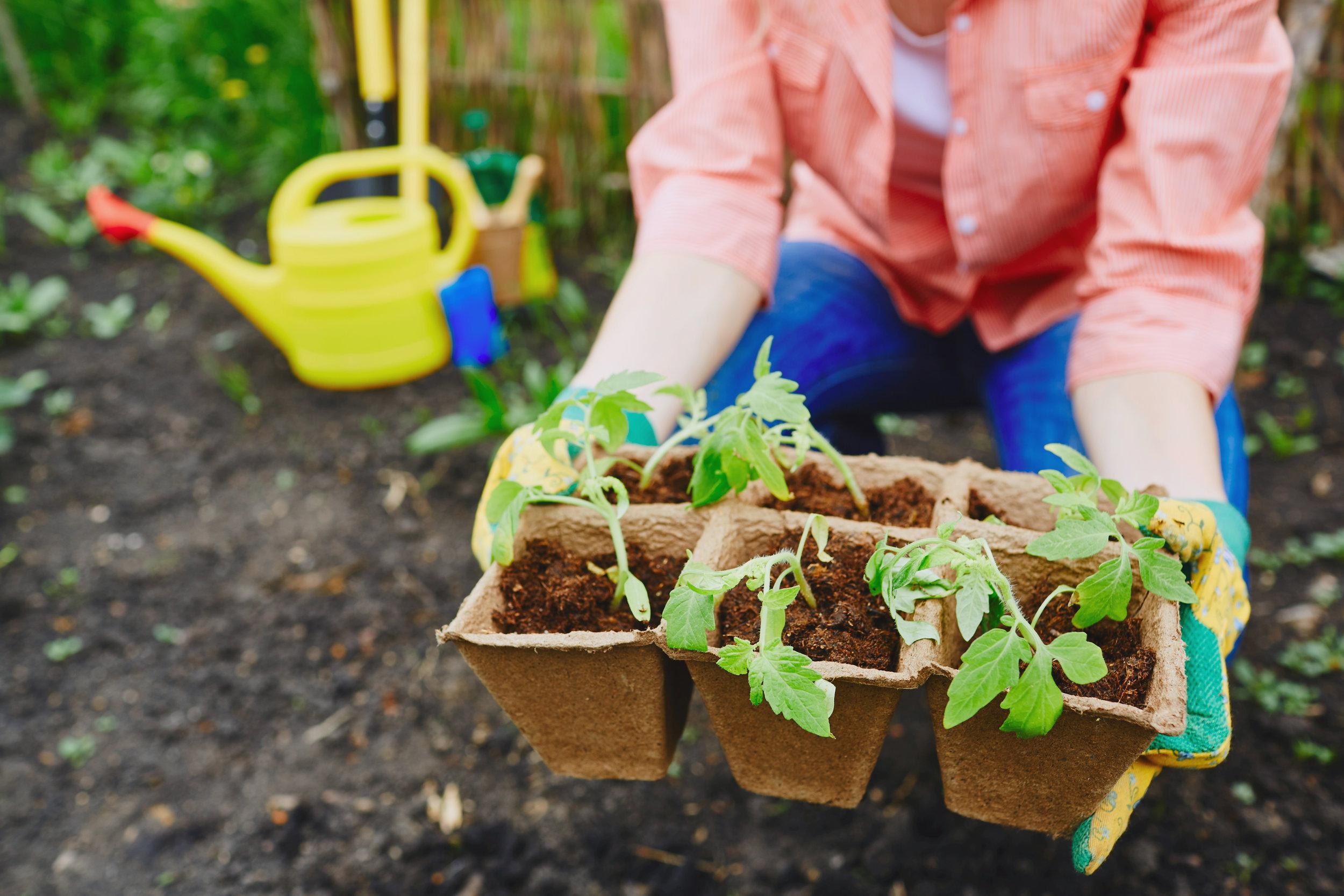 tomato-sprouts-in-peat-pots-P88WQ4V.jpg