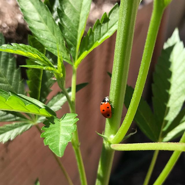 🐞Keep Going.... . . .🌿 . . #keepthecraftincannabis #passionforquality #alwaysgrowing #handcraftedwithlove #coupleswhogrow #Oregonroots #supportlocal #cannabiscommunity #sungrown #notallcannabisisequal #tastethedifference #craftcannabis