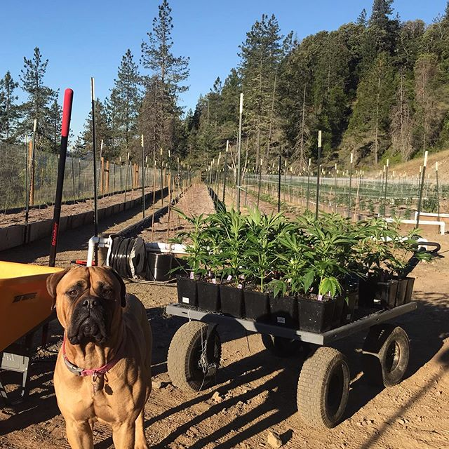 🐕Bailey helping get the last of the beds planted this morning 🐾🐾 .🌱 .🌿 .🍀 We have lots of new strains and a few of our old favorites for #outdoor2019 - .🌴 .🌲 .🌳 #dogdaysofsummer #keepthecraftincannabis #farmdog #southernoregonsungrown #mountianterps #springfedcannabis #tastethedifference #oregonroots #dogsofcannabiz #alwaysgrowing #growmammoth #passionforquality #owneroperated #mascotlife #favoritestrains #afpak #shapeshifter #weddingcake #flavorsfordays