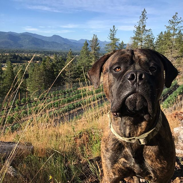 🏞King of the Treetops🌳 . . .💙ED💙 . . #mountainterps #sungrowncannabis #springfed #handcrafted #outdoor2019 #supportlocalfarmers #dogsofcannabiz #mascot #bullmastiff #cannaview #myoffice #startedfromthebottom #hardworkpaysoff #oregonlife #livingourdream