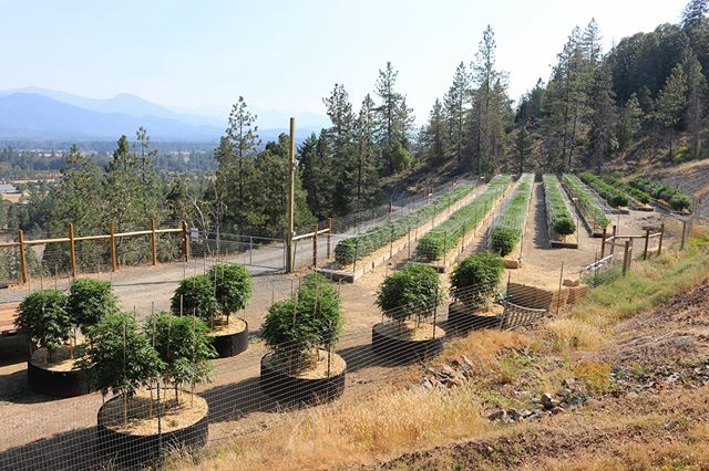 🌳Cannabis in the treetops🏞 . . . . #coupleswhogrow #sungrowncannabis #springfed #itstheclimate #grow #thc #oregonlife #notallcannabisisequal #treetopgardens #alwaysgrowing #cannabiswithaview #mountainterps #livingourdream #grateful #outdoor2019