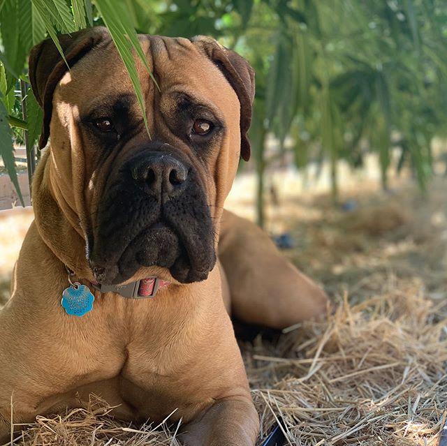 🌴Bailey found the best hiding spot today!🐾🐾 . . . . #rufflife #farmdog #bullmastiff #dogsofcannabiz #420 #dogdaysofsummer #camoqueen #sungrowncannabis #takeyourdogtowork #mascot #mamfam #grownwithlove #notallcannabisisequal