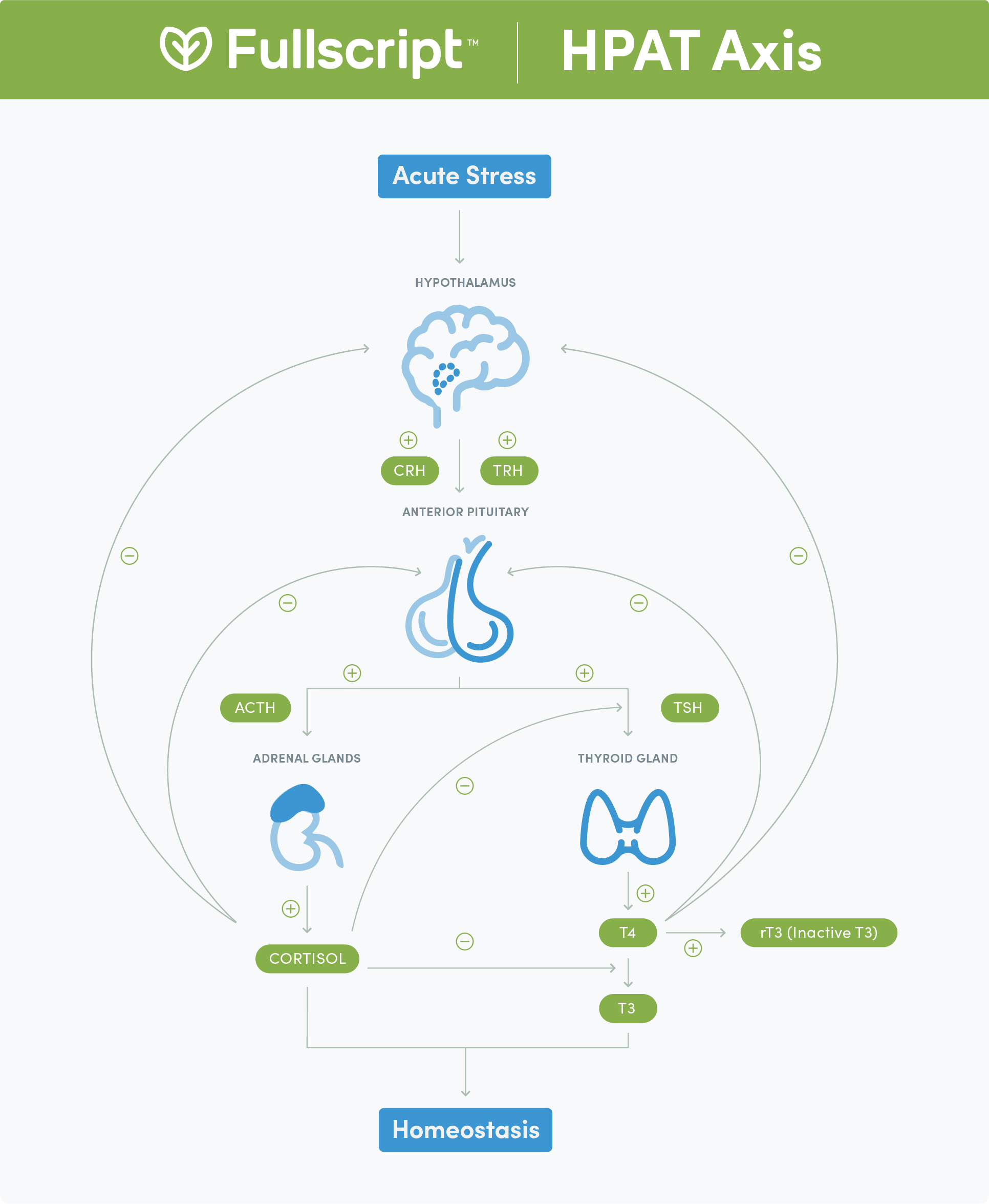 The Hypothalamus-Pituitary-Adrenal-Thyroid (HPAT) Axis - connections between hormones