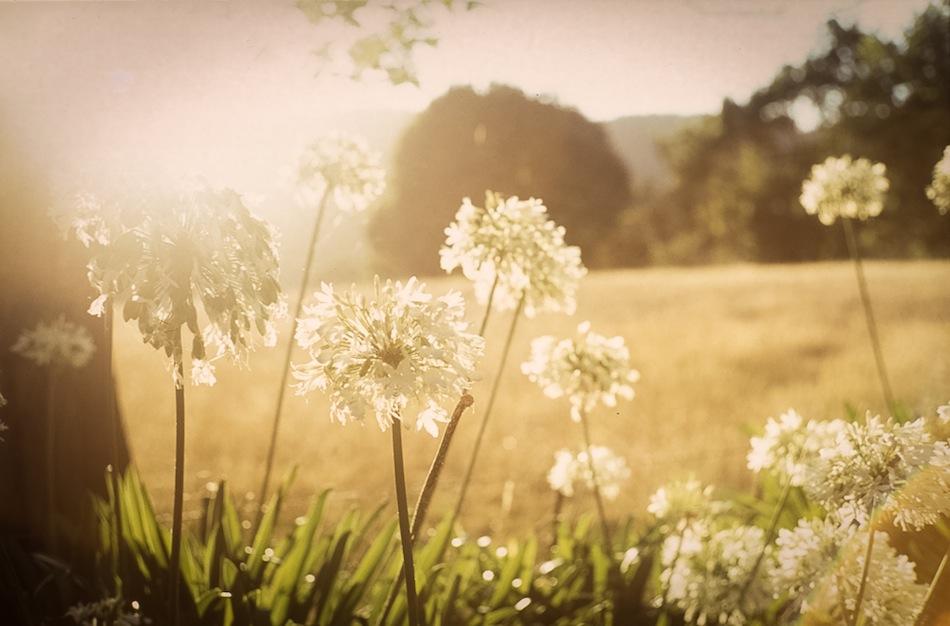 Allium Haze