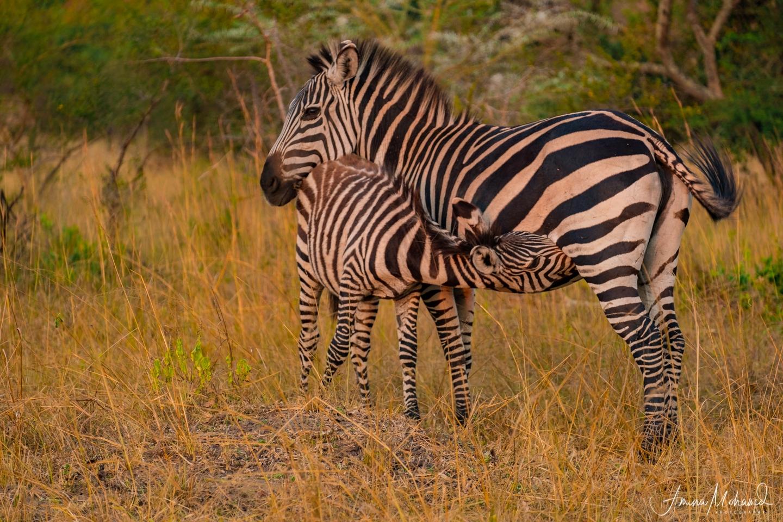 Mother and baby Zebra at Sunset, Lake Mburo, Uganda