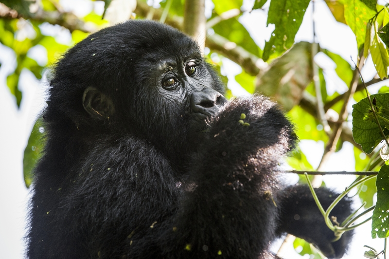 """- Gorilla Trekking in Bwindi Impenetrable ForestGet your shoes ready to explore Uganda's """"Impenetrable"""" forest – the Bwindi National Park. Bwindi offers a truly dramatic landscape - from volcanoes to lakes, waterfalls, jagged valleys, and mountain ranges. The gorillas of Bwindi are completely wild but have become used to seeing humans after years of habituation.Because we know that not everyone will partake in the trek, you will have a less strenuous activity – either way, it's going to be full of photo opportunities!"""