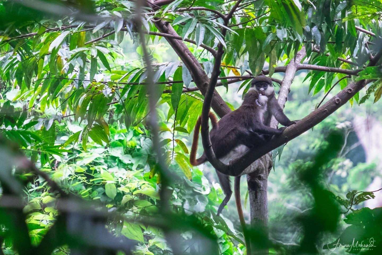 Monkey's In Amabere Ganyinamwiru
