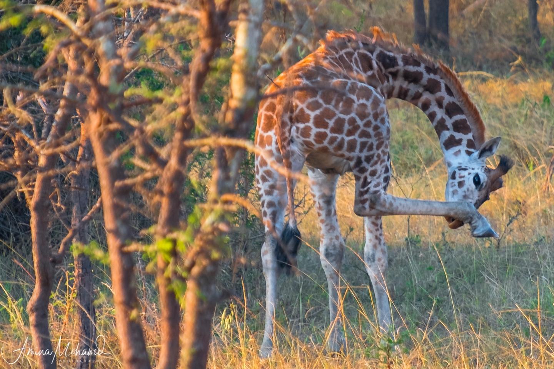 Rothchild Giraffe, Lake Mburo, Uganda