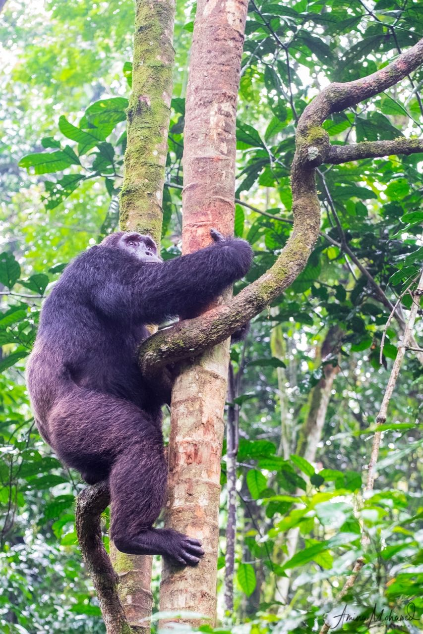 Chimp climbing a tree, Khibale National Park, Uganda