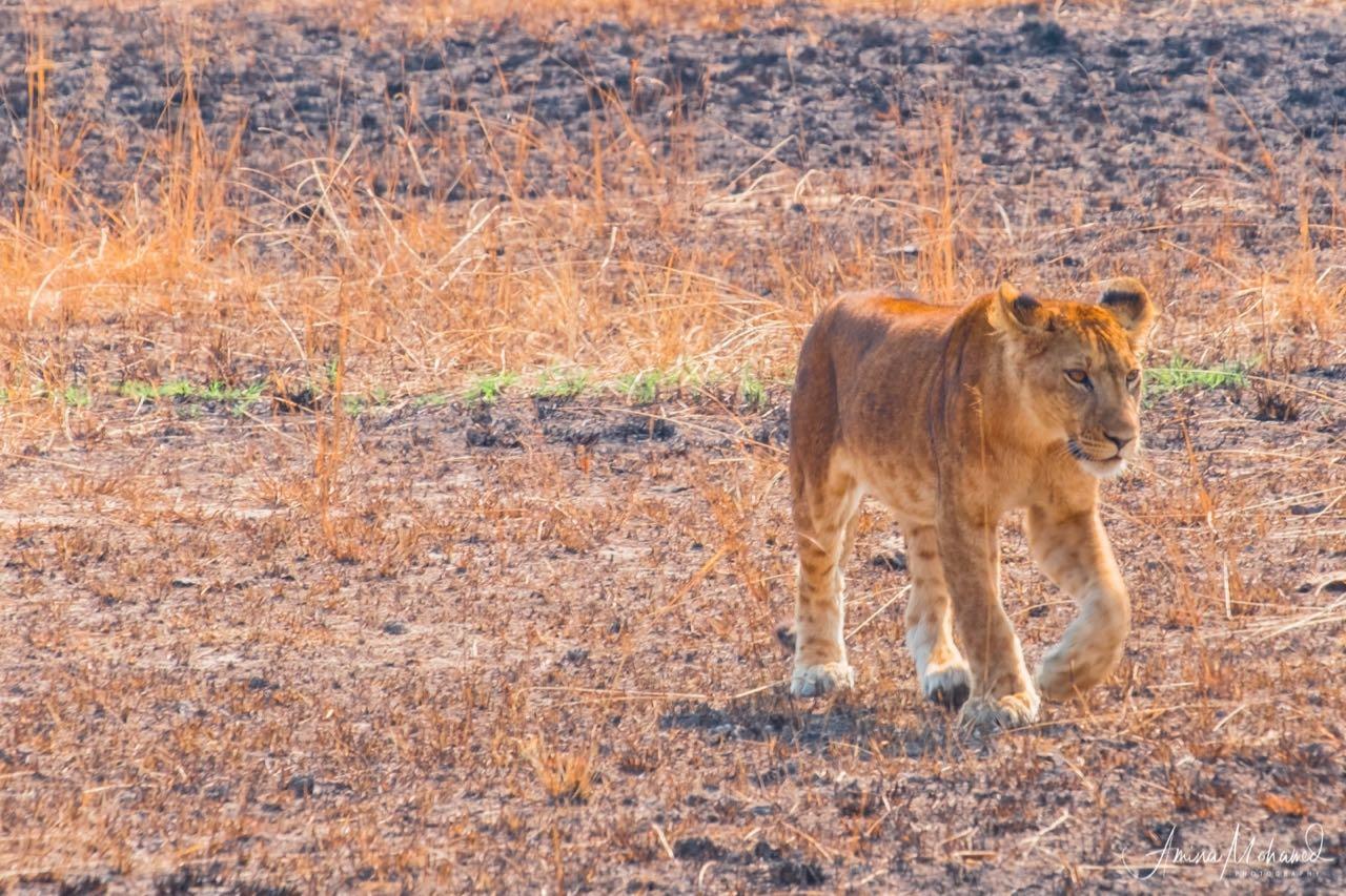 Male Lion, Queen Elizabeth Park, Uganda