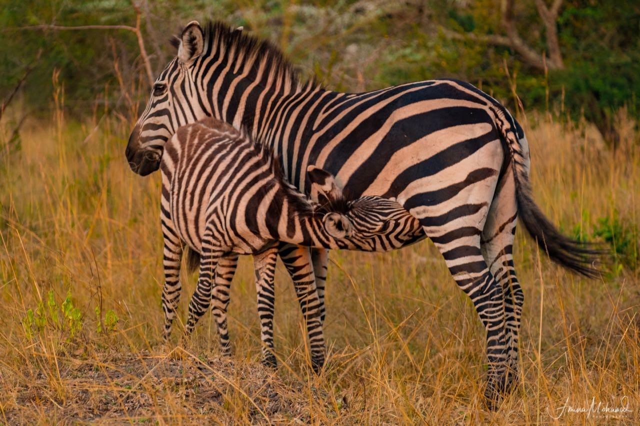 Mother and baby Zebra, Lake Mburo National Park, Uganda