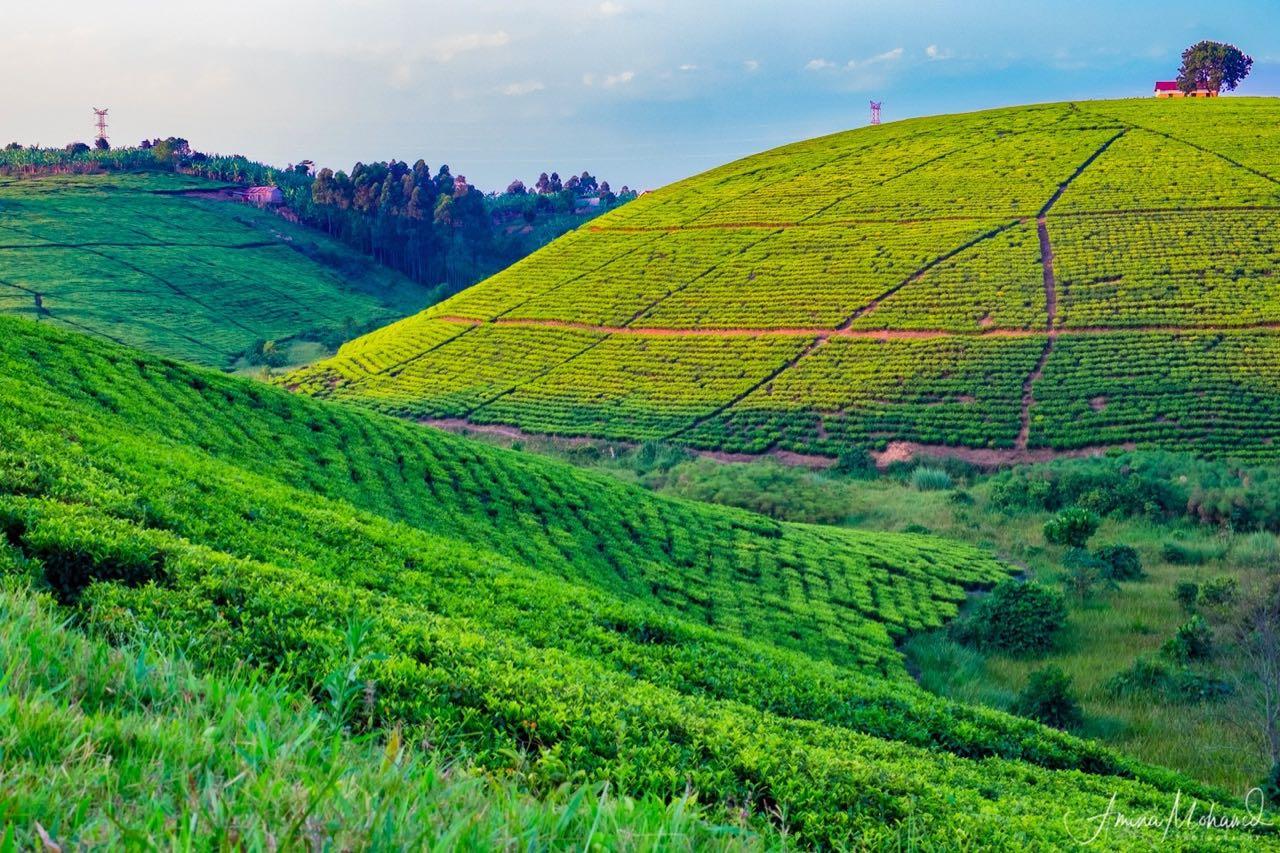 Lush Tea Estates, Fort Portal, Uganda