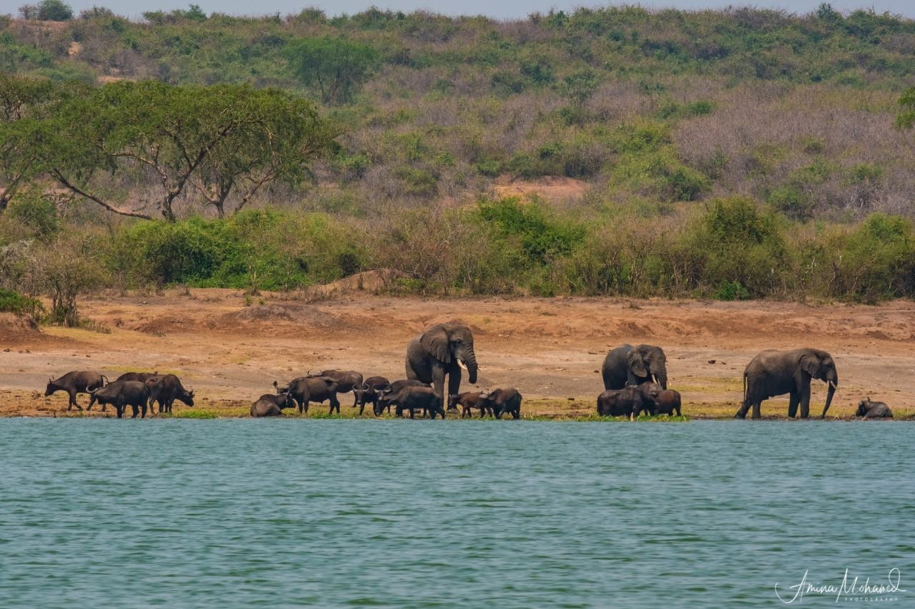 Elephants playing in the Kazinga Channel (part of Queen Elizabeth Park), Uganda