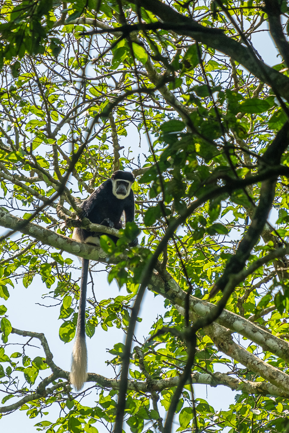 White-tailed monkey looking down upon us as we walk through the forest at Semiliki copyright @triplefphototours