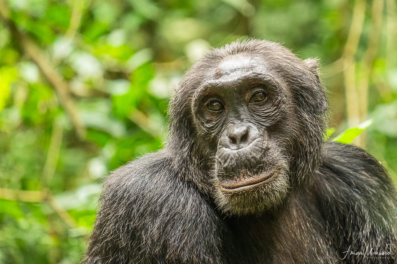Male chimp grooming in Kibale National Park, Uganda