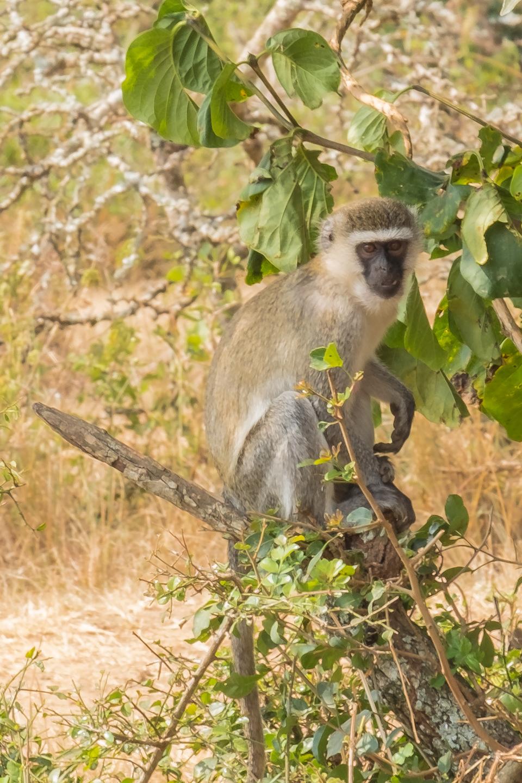 The Patas monkey seen in Lake Mburo National Park, Uganda