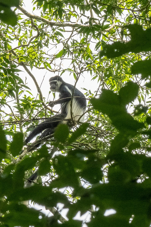 Black and white Colobus Monkey, Sempaya Hot Springs, Uganda
