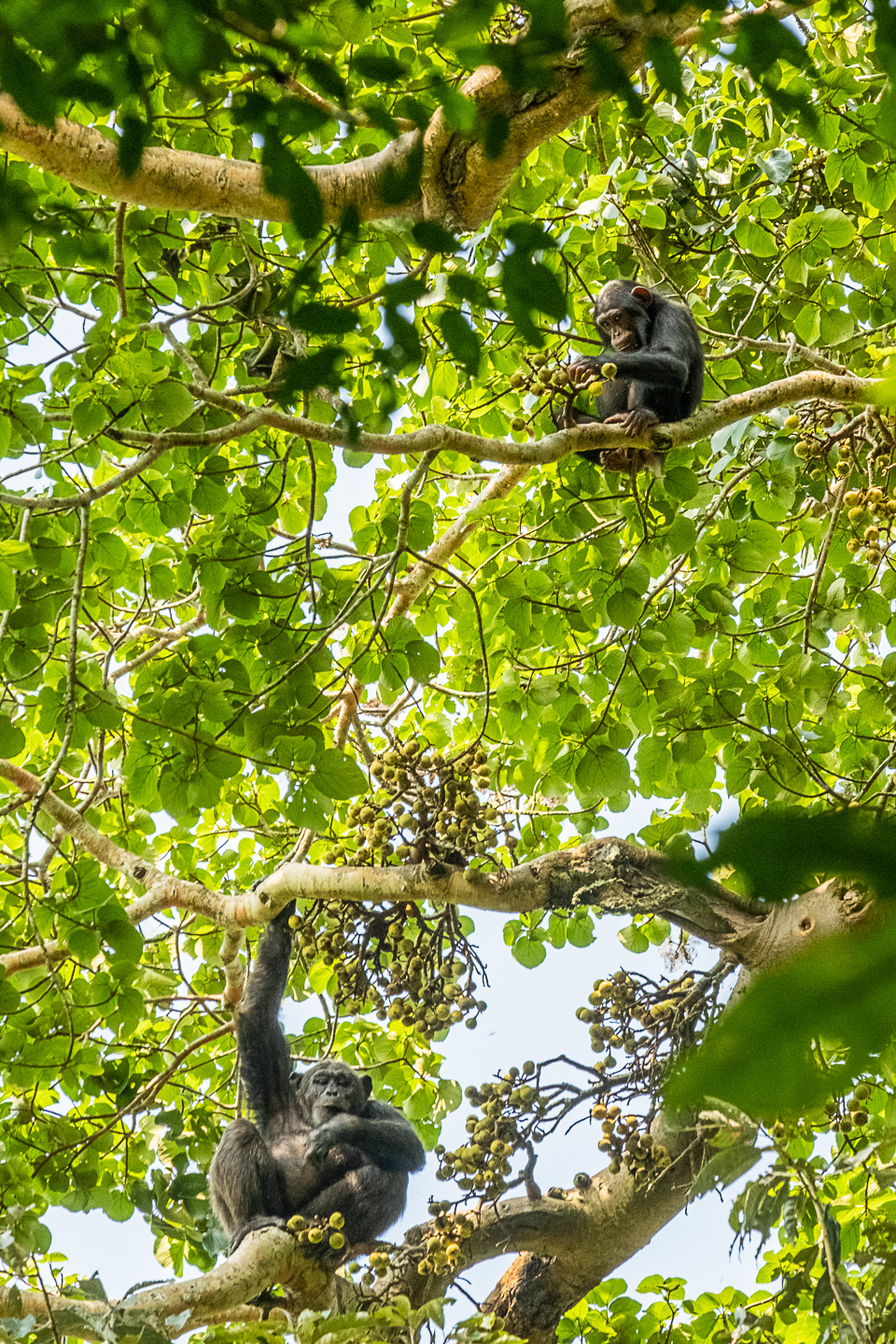 Mom and baby Chimps eating Figs, Kibale National Park, Uganda