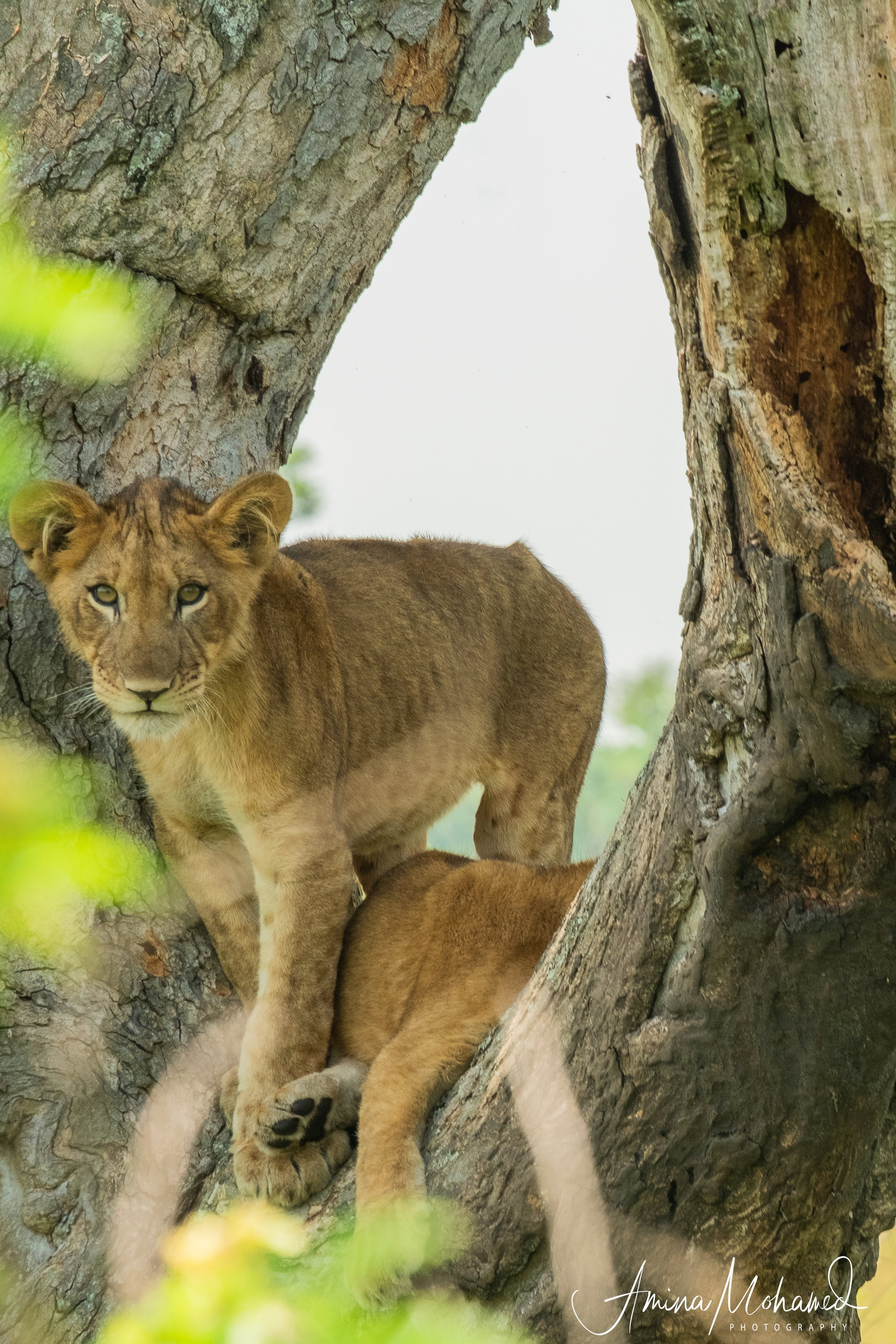 Tree-climbing lions in Queen Elizabeth National Park, Uganda - copyright @ Triple F Photo Tours