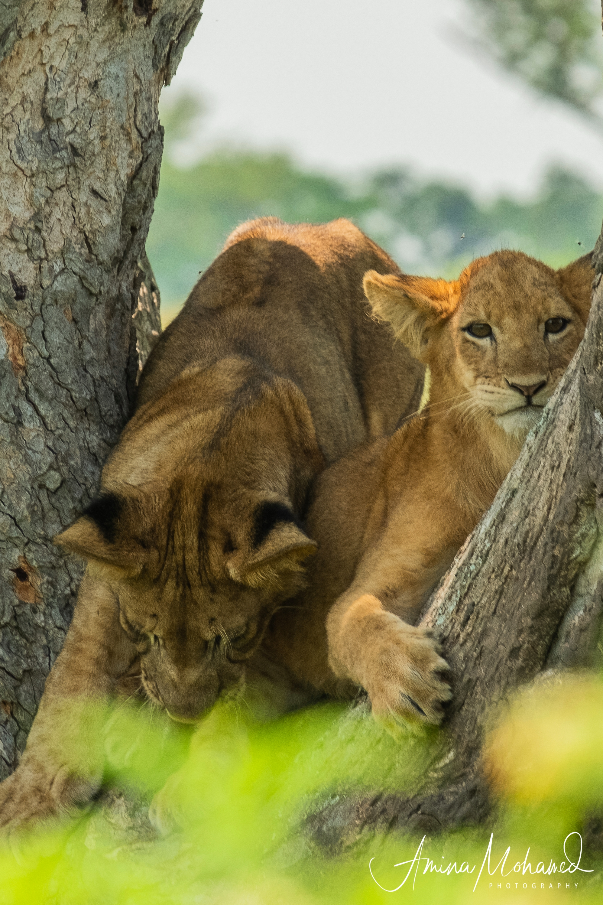 Tree-climbing lions in Queen Elizabeth National Park, Uganda - copyright @ Triple F Photo Tours