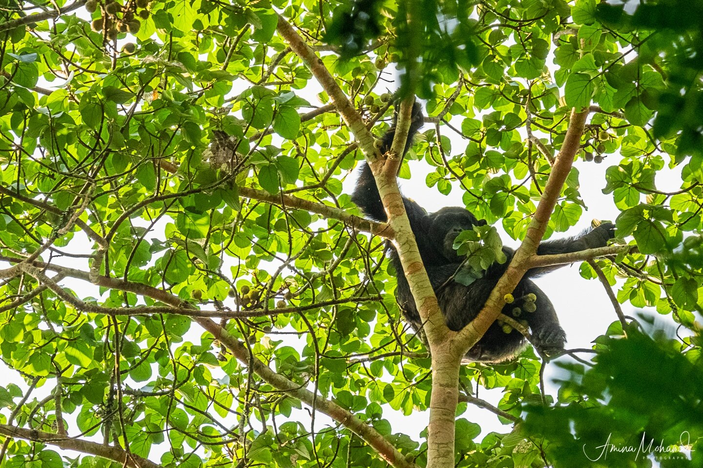 A male chimp looks down on us as we walk under the canopy of trees.  @Amina Mohamed Photography
