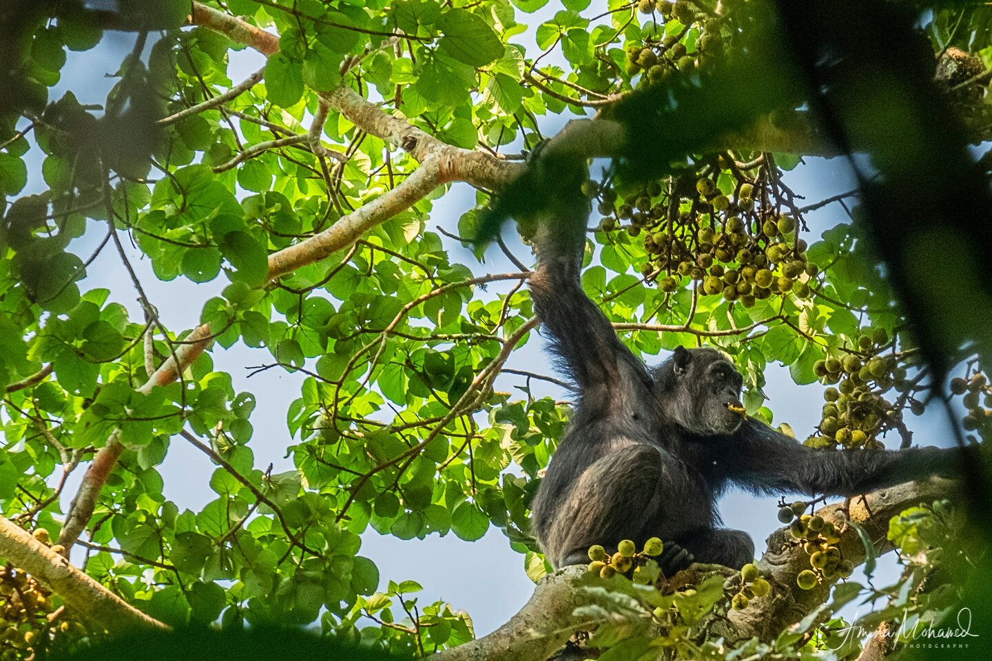Male chimp eating figs at Kibale National Park, Uganda @Amina Mohamed Photography