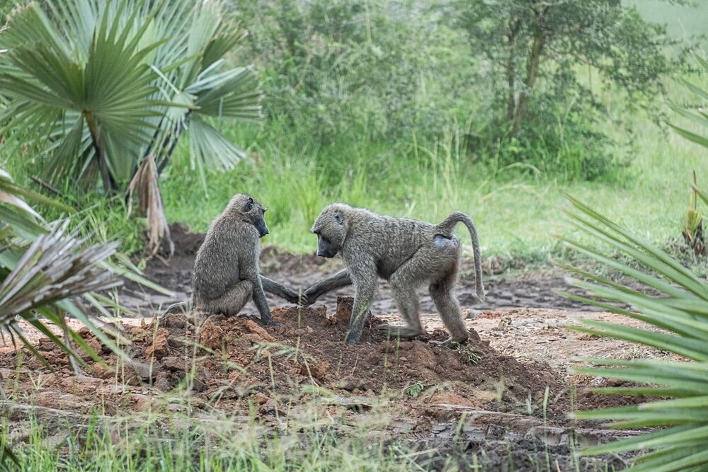 Olive Baboons in Uganda greating each other @Amina Mohamed Photography.jpg