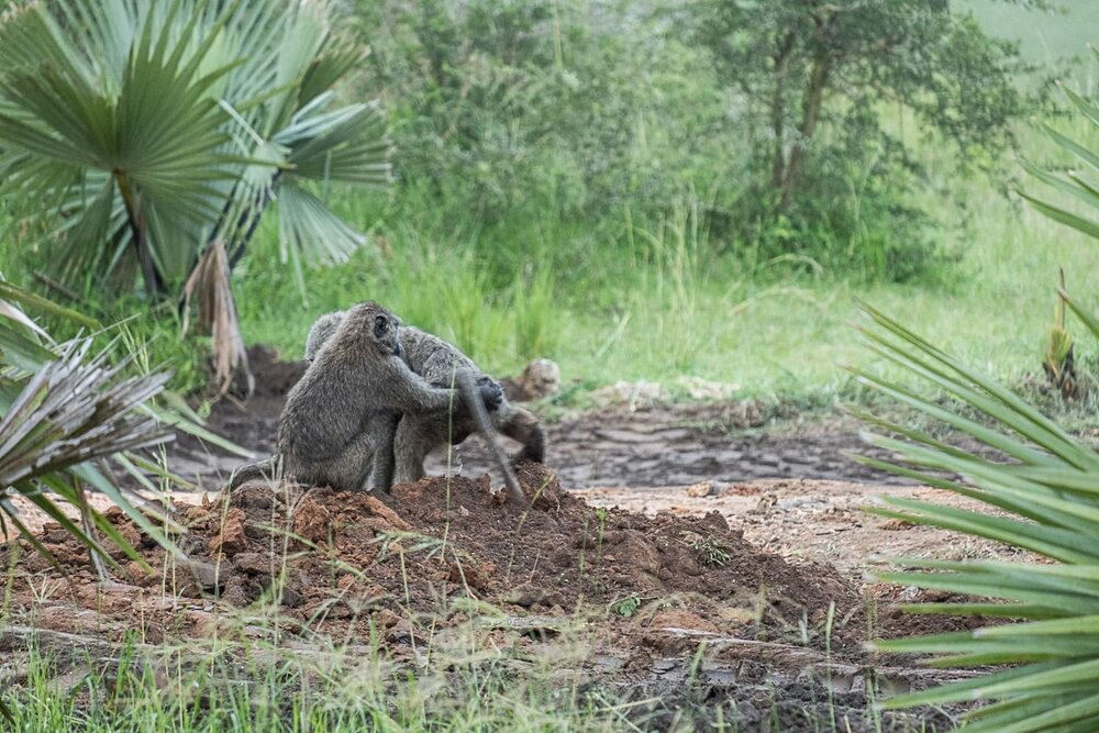 Olive Baboons in Uganda Getting Ready To Mate @Amina Mohamed Photography.jpg