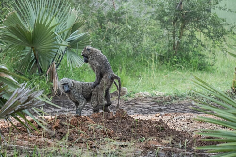 Olive Baboons in Uganda Mating @Amina Mohamed Photography