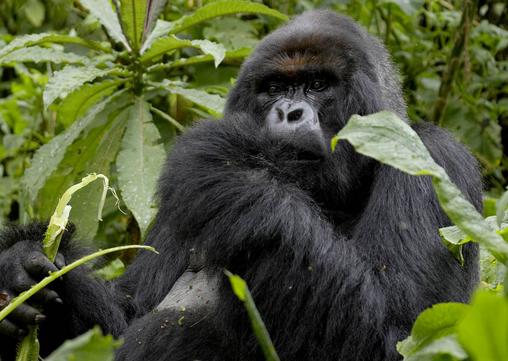 Gorilla in Bwindi Impenetrable Forest - Image courtesy of Google Images