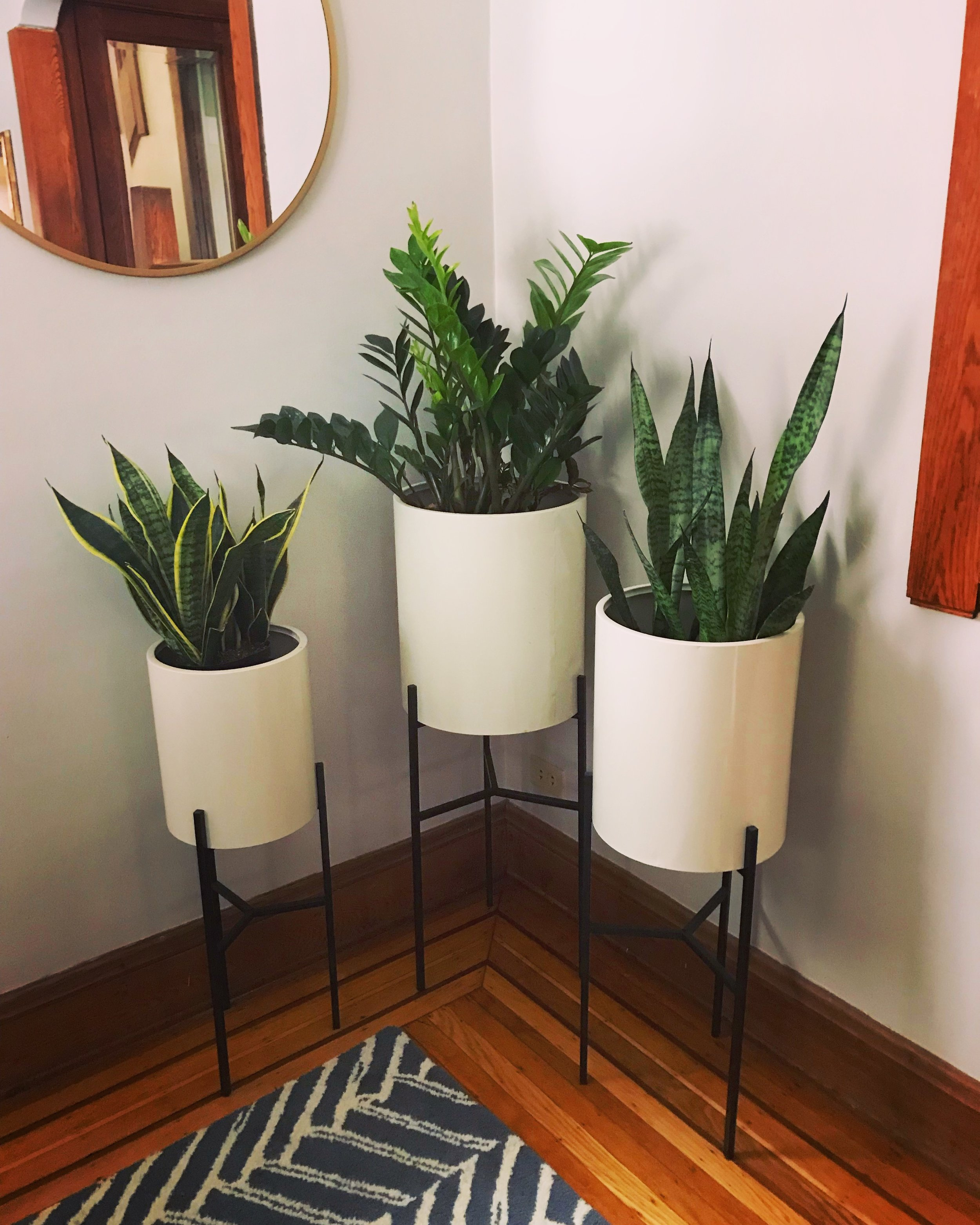 Our low light plant trio. Snake plants (aka Mother in Laws Tongue) on each side and a ZZ plant in the middle.