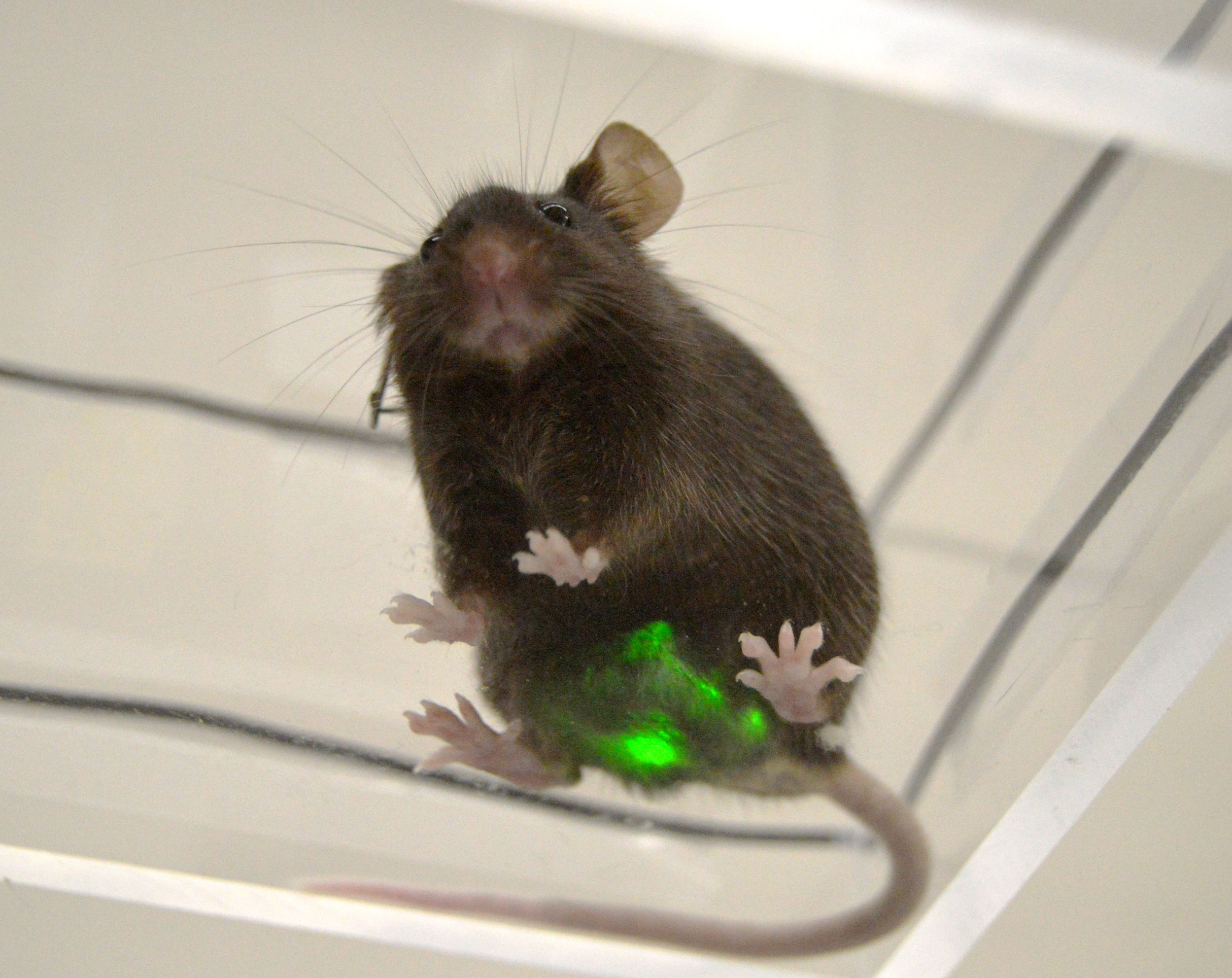 Mouse with Bladder device v2.jpg