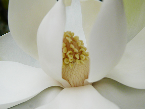 magnolia1-50.jpg