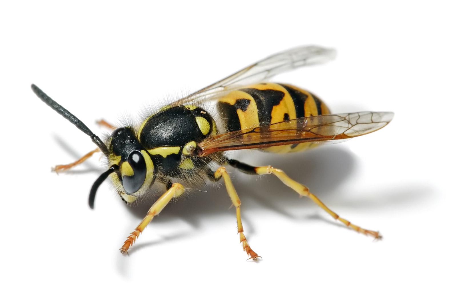 bee swarm wasp 1.jpg