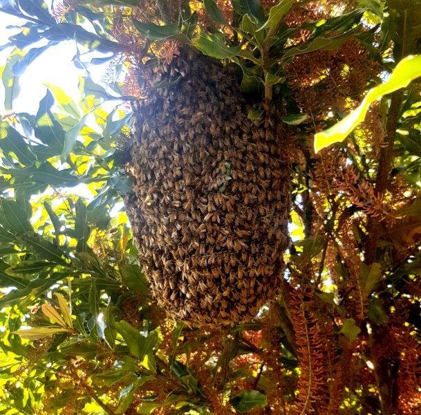 Bee swarm 6a.jpg