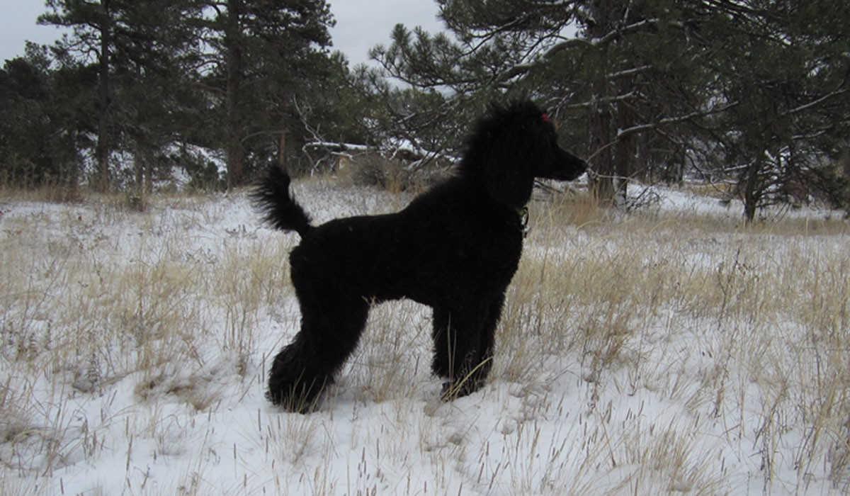 Nami (from the fifth litter) at seven months old standing near her lovely Montana home