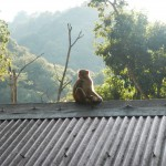 Not so cuddly monkeys would occasionally attempt to steal food from people at lunch