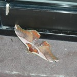 The big moth looks scary, but apparently the smaller white one above it is very poisonous