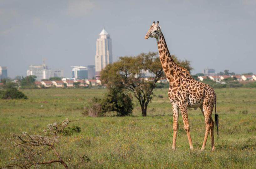 giraffe Nairobi.png