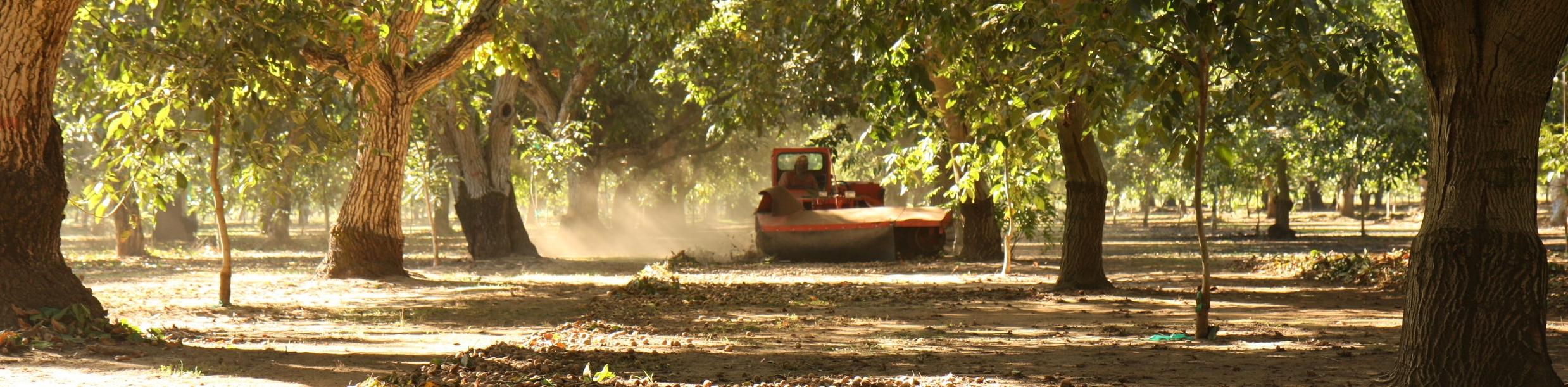 2010 Walnut Harvest_0078.JPG