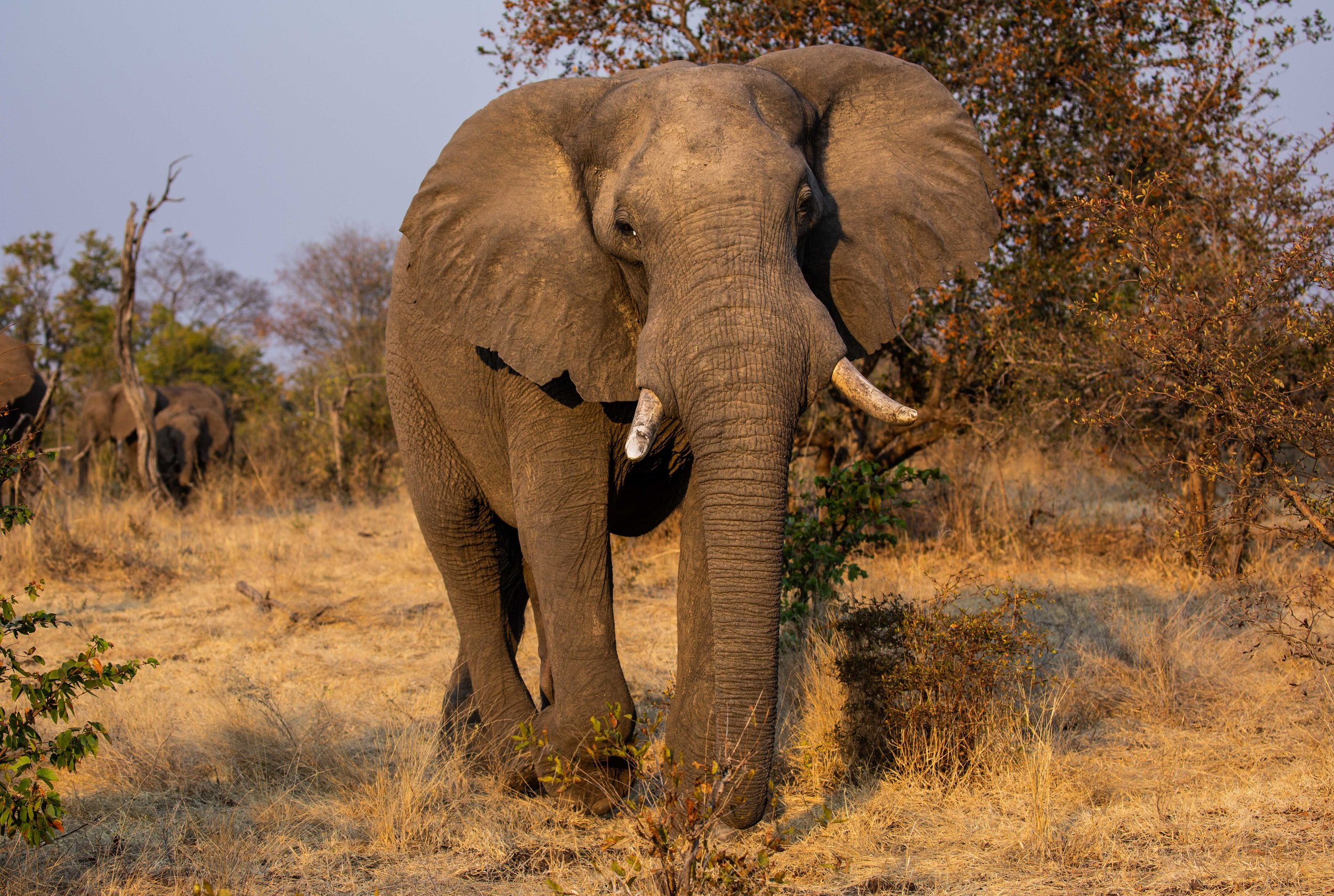 gpzimbabwe-mpalajena-wildlifeelephantcloseup.jpg